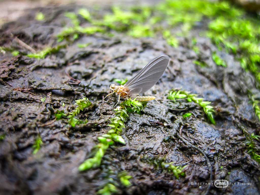 Les insectes bretons   Brittany Fly Fishing