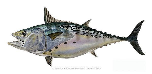 False-Albacore