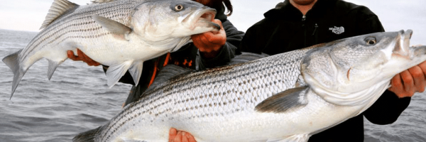 02-usa-east-coast-voyage-fly-fishing-striped-bass