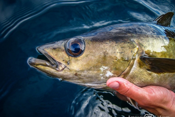 Fly fishing for seabass