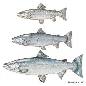 Salmonidés rivière | Brittany Fly Fishing